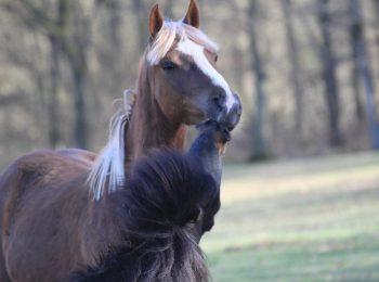 Hestekys
